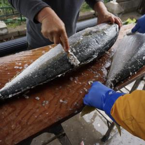 ヒラマサはブリと何が違う?|レシピ・旬な時期・釣り方・さばき方を解説