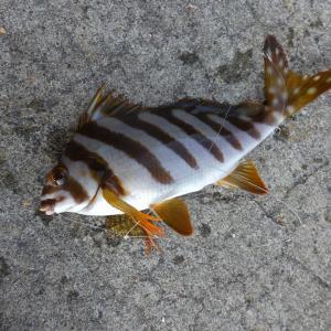 タカノハダイは実は美味しい?レシピ・旬な時期・釣り方・さばき方を解説!