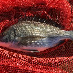 チヌ釣りでおすすめの餌をご紹介!仕掛けの種類や付け方も解説