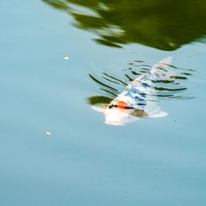 鯉釣りで使うおすすめの餌を紹介!餌の付け方や自作餌の作り方も解説