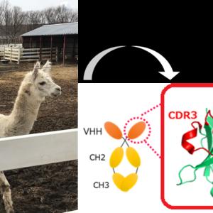 新型コロナウイルスで脚光を浴びる「VHH抗体」とは?