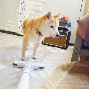 掃除機が大好きな柴犬♪