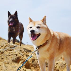 柴犬と甲斐犬連れて海へ!!行きたい!!