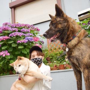 念願叶う!柴犬エミーと甲斐犬ハルヱと紫陽花前で一緒に撮影♪