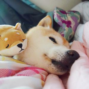 柴犬エミーの近況動画