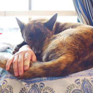 腕枕が好きな甲斐犬ハルヱ