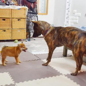 甲斐犬と柴犬の子犬の体格差がやばい