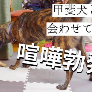 先住犬と柴犬の子犬、初めての交流で一触即発!!
