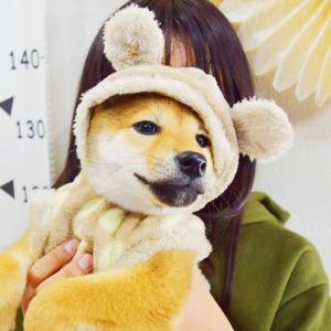 ただひたすら可愛い柴犬の子犬の動画を17時にアップします