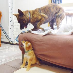 甲斐犬が柴犬の子犬を家族と認めてくれました