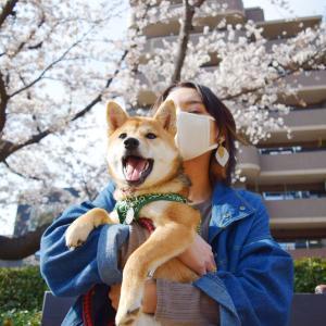 柴犬の子犬が生まれて初めて桜を見た!