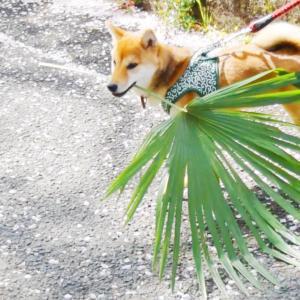 桜より○○が好きな柴犬