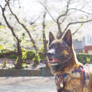 甲斐犬は桜撮影に不向きです