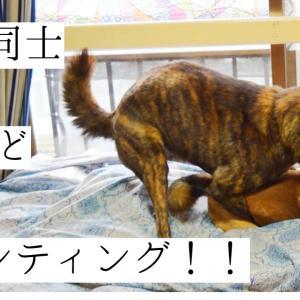 甲斐犬が柴犬にマウンティング!どうすればいいの!?