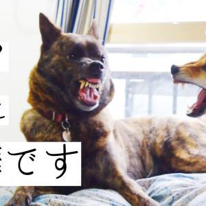 【閲覧注意】甲斐犬と柴犬がガチ喧嘩!!飼い主負傷!!原因はアレのせいでした!