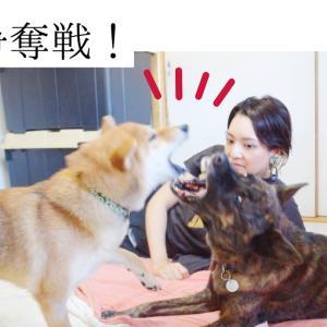 ママの隣は私!甲斐犬と柴犬がお互いやきもち!?と思ったら甲斐犬ハルヱが優しすぎた!!