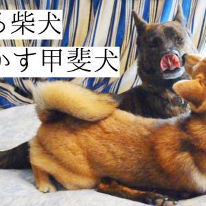 すっかり仲直り⁉喧嘩していたとは思えないほど仲良しの甲斐犬と柴犬