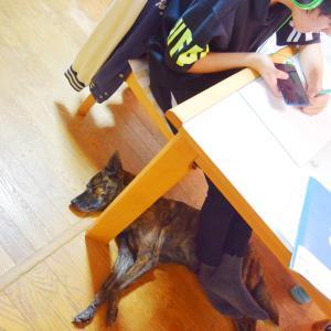 勉強中の息子の邪魔をしない程度に甘える甲斐犬