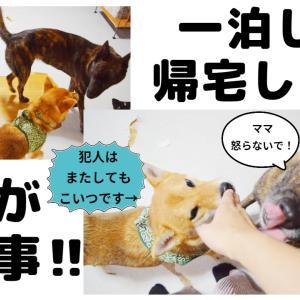 柴犬のイタズラで怒り狂う主を必死に宥める甲斐犬!!