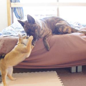 甲斐犬が好きすぎて思わず噛んでしまう柴犬