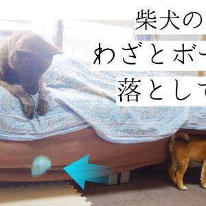 柴犬に「とってこい!」と言わんばかりにボールを落とす甲斐犬!!