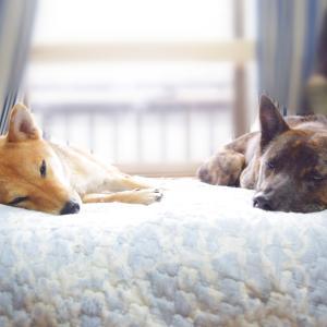 気付けば隣で寝てる甲斐犬と柴犬
