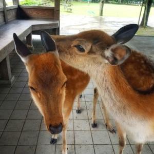Play with deer in Nara Park, Nara