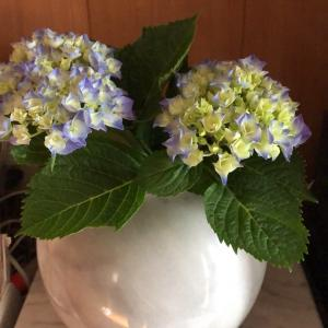 介護とカーネーションと紫陽花