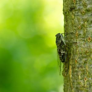 蝉の鳴き声を聞き分けられますか?