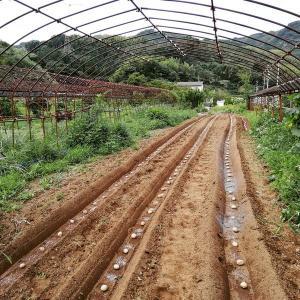 秋ジャガイモの植え付け