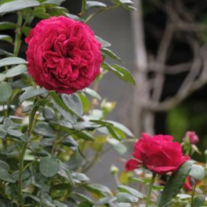 バラ その5
