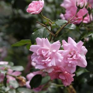 バラ その8