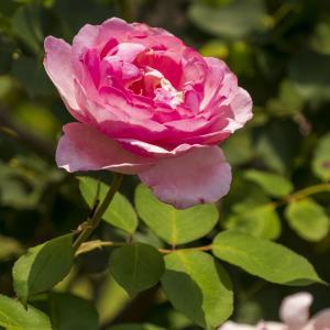 バラ その12
