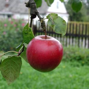 リンゴはなぜかわいい?
