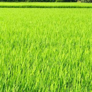 美しい田んぼと木々の緑と猫、そして心の余裕のこと