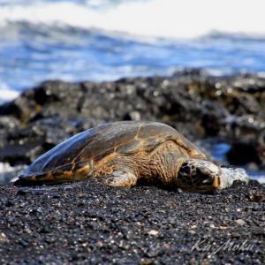 ハワイ島フォト日記 守り神 HONUに逢いに行こう!