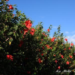 ハワイ島フォト日記 知ってるかい? ハイビスカスの樹年は?