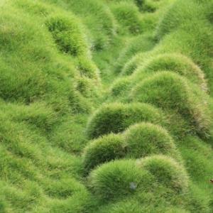 ハワイ島フォト日記 我が家の裏庭にはフワァふわぁの芝生があるよ!