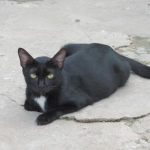 第272匹 カンボジアで出会った猫
