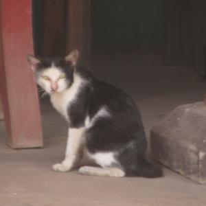 第274匹 カンボジアで出会った猫