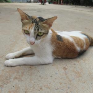 第275匹 カンボジアで出会った猫