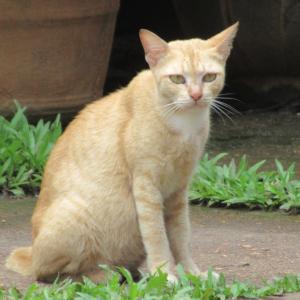 第276匹 カンボジアで出会った猫