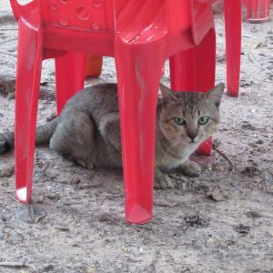 第295匹 カンボジアで出会った猫