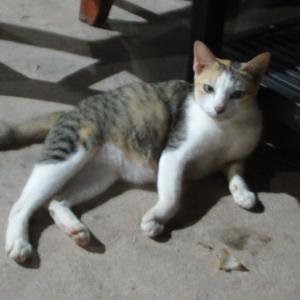 第305匹 カンボジアで出会った猫