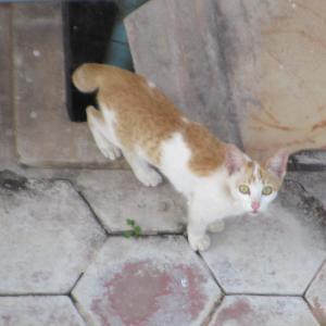 第329匹 カンボジアで出会った猫