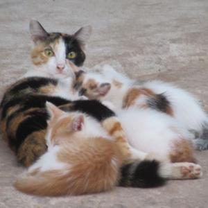 第337匹 カンボジアで出会った猫