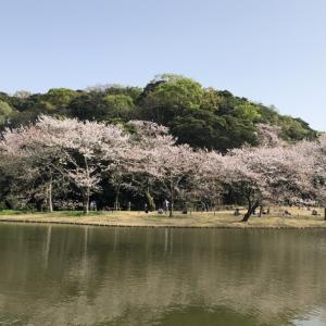 ♪桜・・・