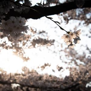 札幌で桜が咲きました