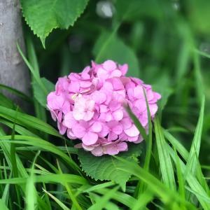 紫陽花とりったん♡