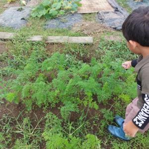9月25日(畑)、大根・聖護院播種、ニンジン追肥